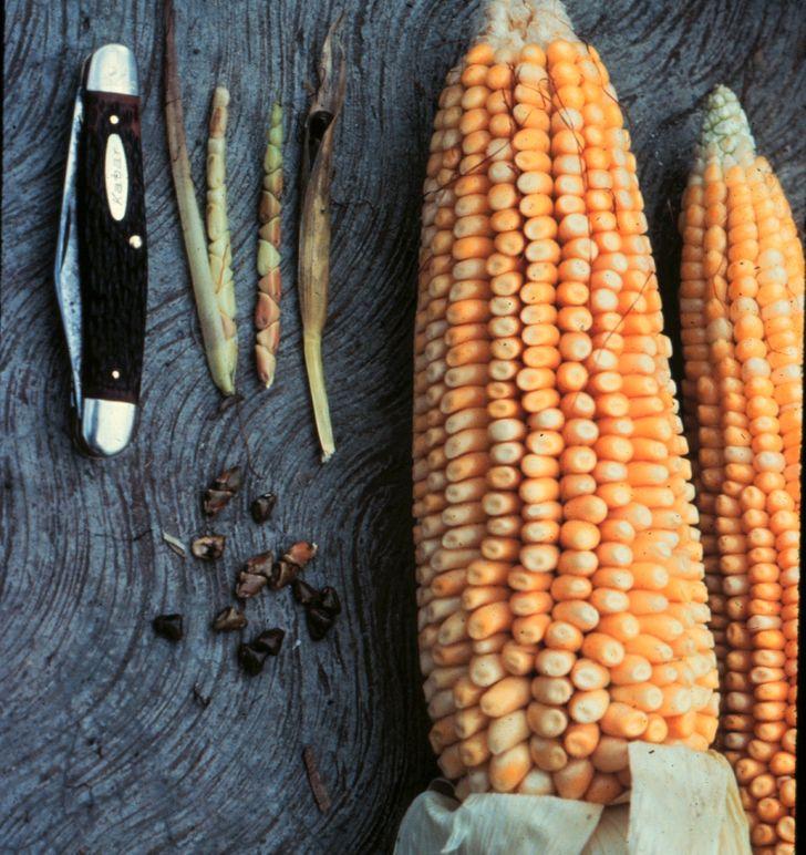 Eredeti kukorica